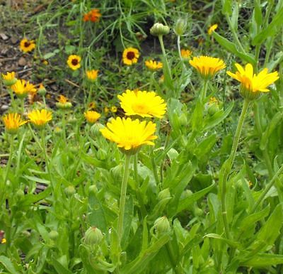 Pot Marigold Seeds - GOLD STAR - Calendula - Medicinal Herb - Edible - 25 Seeds