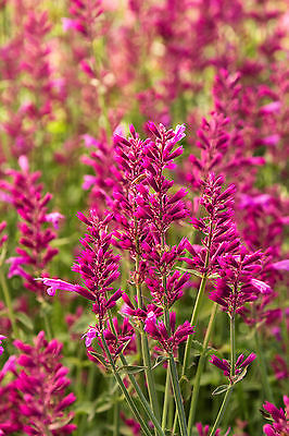 Agastache Seeds - HEATWAVE - Fragrant, Hummingbirds - Hummingbird Mint- 25 Seeds