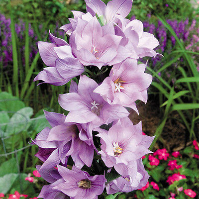 Balloon Flower Seeds - HAKONE DOUBLE PINK - Canada  - Perennial - 20 Seeds