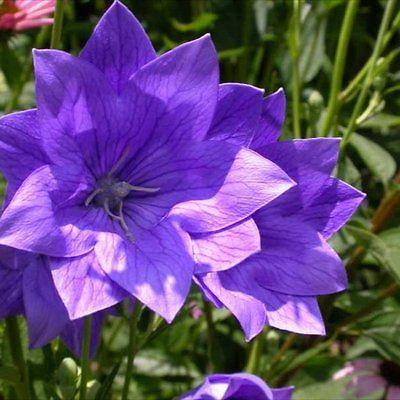 Balloon Flower Seeds - HAKONE DOUBLE BLUE - Canada  - Perennial - 20 Seeds