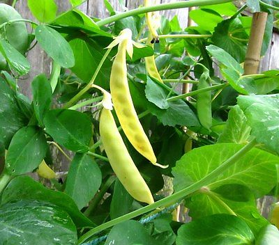 Pea Seeds - Yellow Hybrid - Easy to Grow Healthy Vegetable - Gmo Free - 50 Seeds