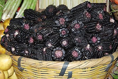 Peruvian Purple Corn Seeds - Zea Mays - Novelty for Child