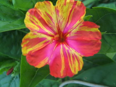 Four O'Clock Seeds ~ Mirabilis Jalapa ~ KALEIDOSCOPE ~ Hummingbirds ~ 10 Seeds