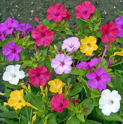 Four O'Clock Seeds~ Mirabilis Jalapa ~MIX SOLIDS ~ Attract Hummingbirds~40 Seeds