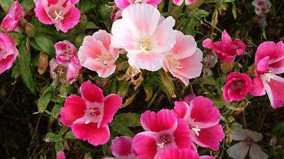 Clarkia Elegans Seeds - PRETTY POLLY MIX - Cottage Garden Heirloom - 50+ Seeds