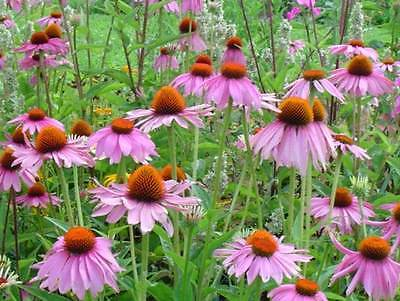 Echinacea Purpurea Seeds -Attracts Butterflies-Perennial Herb- 25+ Seeds     ƸӜƷ