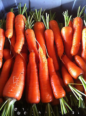 Carrot Seeds - CHANTENAY RED CORED - GMO FREE - Heirloom Variety - 100+ Seeds