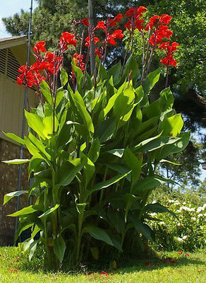Canna Lily Seeds - Red Flowering Tropical - Easy to Grow -Exotic Blooms-10 Seeds