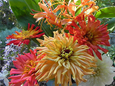 Zinnia Seeds ~ Giant Cactus ~  Large Feathery Petaled Blooms ~ 30+ Seeds ~ :) ~