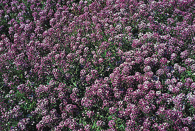 Alyssum Seeds - ROYAL CARPET - Groundcover - Annual - Purple Flowers - 50+ Seeds