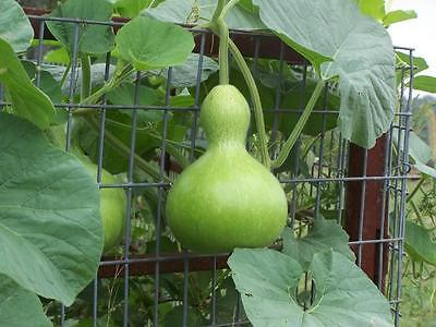 Gourd Seeds - BIRDHOUSE -  Gmo Free - Fun to Grow and Decorate- 10 Seeds