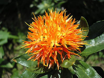 Safflower - ORANGE - Highly Branched, Thistle Like Annual - 50+ Fresh Seeds