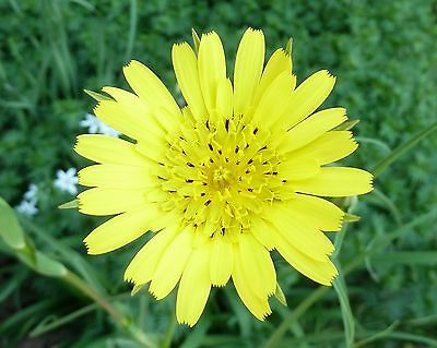 Goat's Beard - Wildflower - *Jack-go-to-Bed-at-Noon* -Drought Tolerant- 25 Seeds
