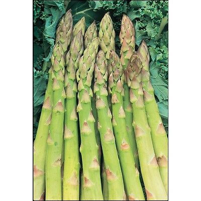Asparagus Seeds - MARY WASHINGTON - Heirloom, Organic, Perennial - 20 Seeds