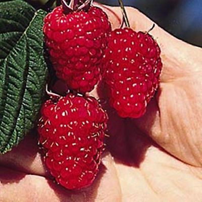 Raspberry Seeds - BRITISH COLUMBIA TULAMEEN - Gigantic Fruit -Gmo Free- 25 Seeds