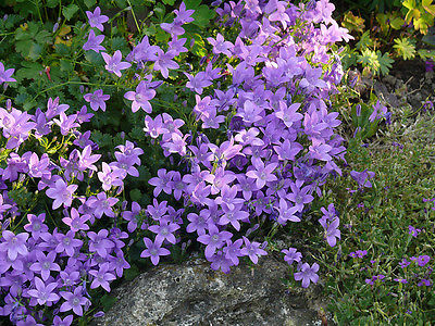 Campanula Seeds - BIRCH HYBRID - Rabbit Resistant - Dwarf Bellflower - 50 Seeds