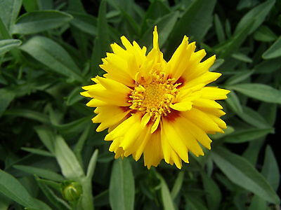 Coreopsis Seeds - RISING SUN - Tickseed -Perennial Attract Butterflies- 25 Seeds