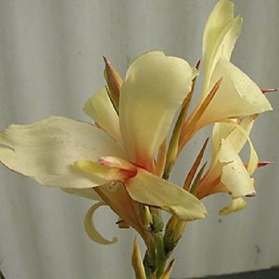 Canna Lily Bulb - CORA - Cannaceae - Hybrid - Attract Hummingbirds - Tropical