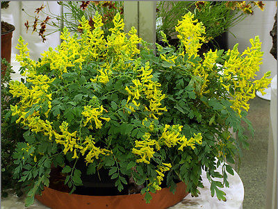 Corydalis Seeds - CANARY FEATHERS - Hybrid Shade Perennial- VERY RARE - 10 Seeds