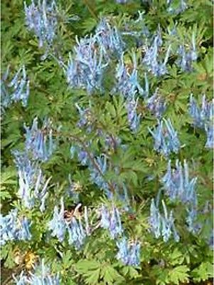 Corydalis Flexuosa Seeds - PERE DAVID - Unique Shade Perennial - RARE - 10 Seeds