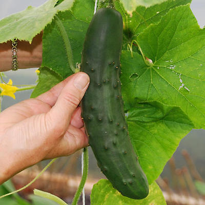 Cucumber Seeds- MARKETMORE - Great for Making Pickles - Gmo Free- 200+ Seeds