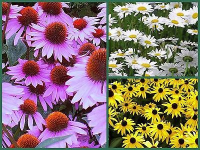 Cottage Garden Collection - 3 Favorite Daisies! - Long Lasting Blooms -300 Seeds