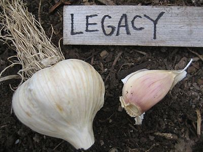 Garlic Bulblets - LEGACY - Organic  - Thrives in Cold Climates - 6 Bulblets