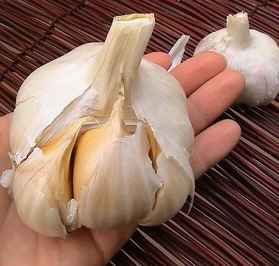 Elephant Garlic  ~ Huge!! ~ Easy to Grow ~~ Allium Ampeloprasum ~~~~~ 6 Bulblets