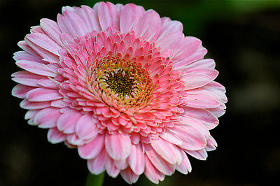 Gerbera Daisy Seeds - PACIFIC RIM - Eye Catching Festival Flowers - 10 Seeds