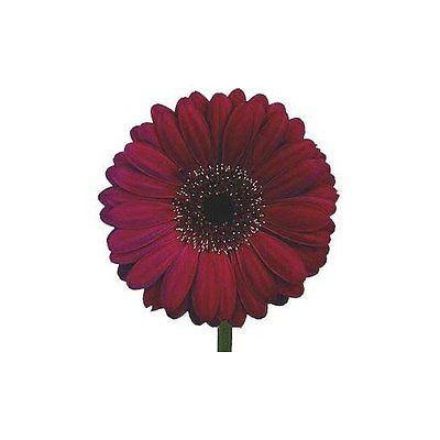 Gerbera Daisy Seeds - ROYAL BURGUNDY - Eye Catching Festival Flowers - 10 Seeds