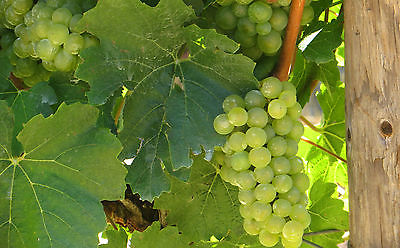 Grape Seeds - DAUPHINE - White Fruit  - NON GMO - MEDICINAL BENEFITS  - 30 Seeds