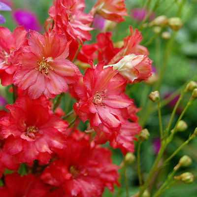 Larkspur Seeds - CARMINE KING -Deep Rose Flower Spikes- theseedhouse - 25+ Seeds