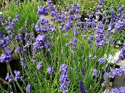 Lavender Seeds - BLUE CUSHION - Dwarf English Lavender - Butterflies - 25 Seeds