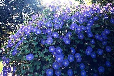 Morning Glory Seeds - HEAVENLY BLUE - 3-4