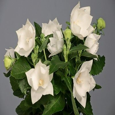 Balloon Flower Seeds - ASTRA SEMI-DOUBLE WHITE - Perennial Platycodon -10 Seeds