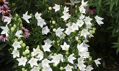 Balloon Flower Seeds - FUJI WHITE - Balloon Like Buds - Perennial - 20 Seeds