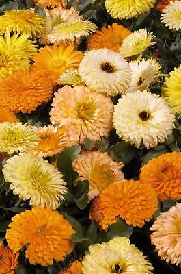 Calendula Seeds - BON BON MIX - Pot Marigold - Medicinal Benefits - 25 Seeds