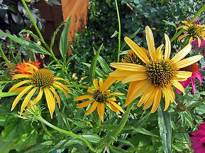 Echinacea Seeds - MANGO MEADOWBRITE - Coneflower - MEDICINAL BENEFITS - 15 Seeds