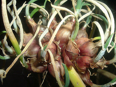 Egyptian Walking Onions - Walking Onion - Allium - Easy to Grow - 8 Bulbils