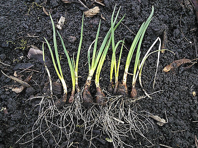 Egyptian Walking Onions -Allium Cepa Proliferum-Eternal Heirloom -3 Mature Bulbs