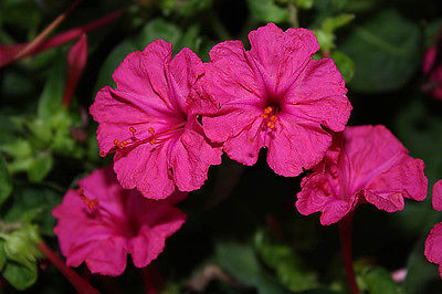 Four O'Clock Seeds ~ Mirabilis Jalapa ~  FUSCHIA ~ Attract Hummingbirds~15 Seeds