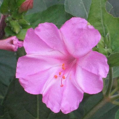 Four O'Clock Seeds ~ Mirabilis Jalapa ~  PINK ~ Attract Hummingbirds ~ 15 Seeds