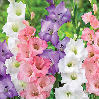 Gladiolus Bulbs - PASTEL MIX - Sword Lily - Soft Shades of Pastels - 6 Bulbs