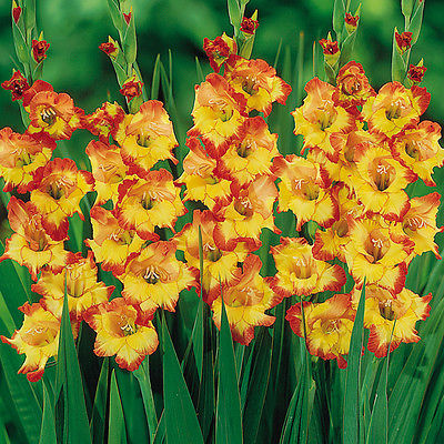 Gladiolus Bulbs - PRINCESS MARGARET ROSE - Sword Lily - Gladioli - 6 Fresh Bulbs