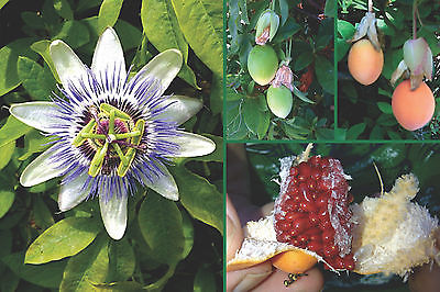 Passion Flower Seeds - BLUE - Great for Growing Indoors - Exotic - 100 Seeds