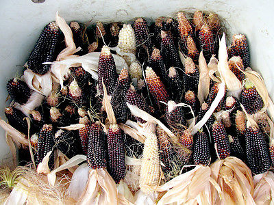 Dakota Black Popcorn Seeds - Rare Zea Mays - Grow Your Own Popcorn - 50+ Seeds