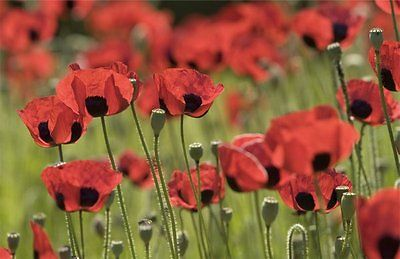 Papaver Somniferum Poppy Seeds - Giganteum Poppies- Variety of Color -1000 Seeds