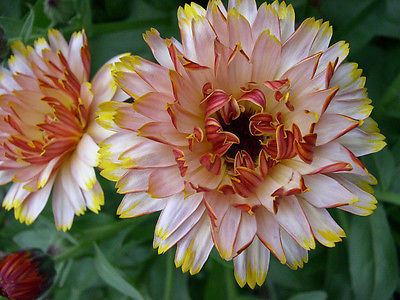 Calendula Seeds - SOLAR FLASHBACK MIX - Cottage Garden Favourite - 200 Seeds