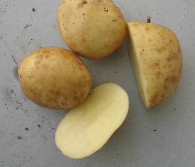 Potato Seed - YUKON GOLD - Beautiful Golden Colored Flesh - 20 Tubers