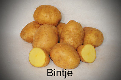 Potato Seed - Bintje - Yellow Flesh - Ideal for Frying and Roasting - 6 Tubers